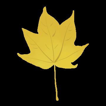 イタヤカエデの紅葉のイラスト